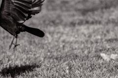 Crow • ©Greg Smith