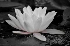 Lotus • ©Greg Smith