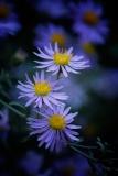 Purple Asters • ©Greg Smith