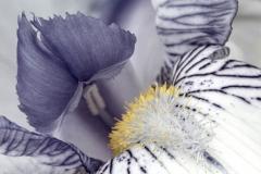 Iris C